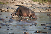 Hippo at the Serengeti National Park, Tanzania, Africa — Stock Photo