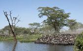 Herds of wildebeest at the Serengeti National Park, Tanzania, Africa — Stock Photo