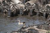 Herds of wildebeest and bird at the Serengeti National Park, Tanzania, Africa — Stock Photo