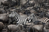 Wildebeest and Zebras at the Serengeti National Park, Tanzania, Africa — Stock Photo