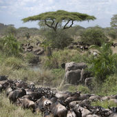 Elephants and Wildebeest at the Serengeti National Park, Tanzania, Africa — Stock Photo