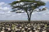 Herd of wildebeest migrating in Serengeti National Park, Tanzania, Africa — Stock Photo