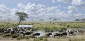 Herd of wildebeest and zebras in Serengeti National Park, Tanzania, Africa — Stock Photo