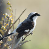 Grey-backed Fiscal, Lanius excubitoroides, in Serengeti National Park, Tanzania, Africa — Stock Photo