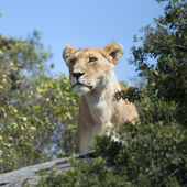 Lioness in Serengeti National Park, Tanzania, Africa — Stock fotografie