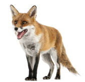 Red Fox, Vulpes vulpes, 4 years old, in front of white background — Stock Photo