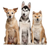 Mixed breed dog, 9 years old, Shiba Inu, 2 years old, and Siberian Husky puppy, 4 months old, sitting in front of white background — Stock Photo