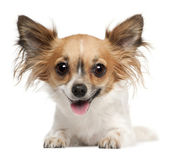Chihuahua, 2 years old, lying in front of white background — Stock Photo