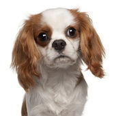 Close-up of Cavalier King Charles Spaniel, 9 months old, in front of white background — Stock Photo