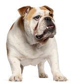Engelsk bulldogg, 11 månader gammal, står framför vit bakgrund — Stockfoto
