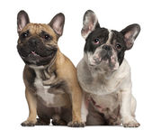 French Bulldog, 2 years old, and French Bulldog, 1 year old, sitting in front of white background — Stock Photo