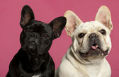 French Bulldogs, 2 years old, in front of pink background — Foto Stock