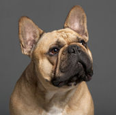 Close-up of French Bulldog, 2 years old, in front of grey background — Stockfoto
