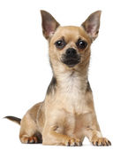 Chihuahua, 12 months old, lying in front of white background — Stock Photo