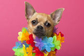 Close-up of Chihuahua wearing colorful lei, 12 months old, in front of pink background — Stock Photo