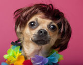Close-up of Chihuahua wearing wig and colorful lei, 12 months old, in front of pink background — Stock Photo