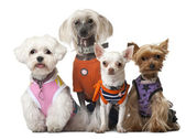 Group of dressed dogs in front of white background — Stock Photo