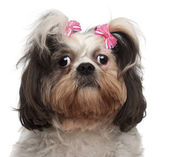 Close-up of Shih Tzu, 18 months old, in front of white background — Stock Photo
