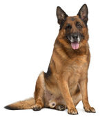 German Shepherd Dog, 11 years old, sitting in front of white background — Stock Photo