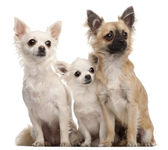 Three Chihuahuas, 5 years old and 8 months old, sitting in front of white background — Stock Photo