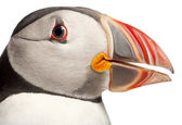 Close-up of Atlantic Puffin or Common Puffin, Fratercula arctica, in front of white background — Stock Photo