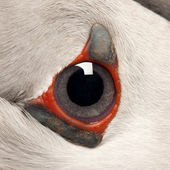 Close-up of Atlantic Puffin eye or Common Puffin eye, Fratercula arctica — Stock Photo