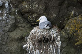 Seagull in nest on Mykines, Faroe Islands — Stock Photo