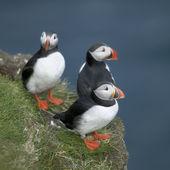 атлантический тупик или общих puffin, белогрудыми arctica на мичинес, фарерские острова — Стоковое фото