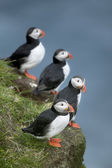 Atlantic Puffin or Common Puffin, Fratercula arctica, on Mykines, Faroe Islands — Foto de Stock