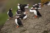 Atlantic Puffin or Common Puffin, Fratercula arctica, on Mykines, Faroe Islands — Stock Photo