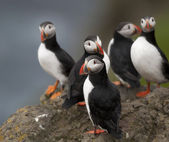 Atlantic Puffin or Common Puffin, Fratercula arctica, on Mykines, Faroe Islands — Stockfoto