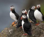 Papuchalk bělobradý nebo společné papuchalků, fratercula arctica, na mykines, faerské ostrovy — Stock fotografie
