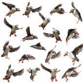 Coleção de papagaio ou comum puffin, fratercula arctica, no vôo em frente fundo branco — Foto Stock