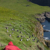 Man observing Atlantic Puffin or Common Puffin, Fratercula arctica, on Mykines, Faroe Islands — Stockfoto