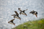 Atlantic Puffin or Common Puffin, Fratercula arctica, in flight on Mykines, Faroe Islands — Stok fotoğraf