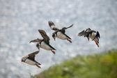 Maskonur zwyczajny lub wspólne maskonur, fratercula arctica, w locie na mykines, wyspy owcze — Zdjęcie stockowe
