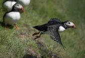Atlantic Puffin or Common Puffin, Fratercula arctica, in flight on Mykines, Faroe Islands — Стоковое фото