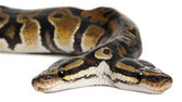 Close-up of Two headed Royal Python or Ball Python, Python Regius, 1 year old, in front of white background — Stock Photo