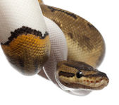 Close-up of Female Pinstripe Pied Royal python, ball python, Python regius, 14 months old, in front of white background — Stock Photo