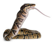 Python Royal python eating a mouse, ball python, Python regius, in front of white background — Stock Photo