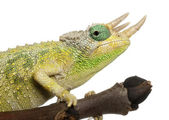 Close-up of Mt. Meru Jackson's Chameleon, Chamaeleo jacksonii merumontanus, partially shedding in front of white background — Stock Photo