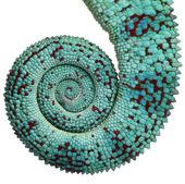 Close-up van panterkameleon nieuwsgierige worden staart, furcifer pardalis, voor witte achtergrond — Stockfoto