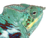 Close-up of Panther Chameleon Nosy Be, Furcifer pardalis, in front of white background — Stock Photo