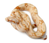 Albinos Boa constrictor, Boa constrictor, 2 months old, in front of white background — Stock Photo