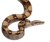 Salmon Boa constrictor, Boa constrictor, 2 months old, in front of white background — Stock Photo