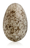 House Sparrow egg, Passer domesticus, in front of white background — Stock Photo