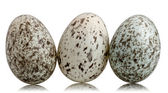 Three House Sparrow eggs, Passer domesticus, in front of white background — Stock Photo