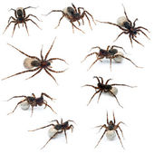 Collage of Female Pardosa lugubris carrying her egg-sac in front of white background — Stock Photo