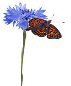 Knapweed Fritillary, Melitaea phoebe, on cornflower in front of white background — Stock Photo