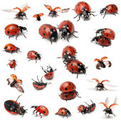 Collection of Seven-spot ladybirds, Coccinella septempunctata, in front of white background — Stock Photo